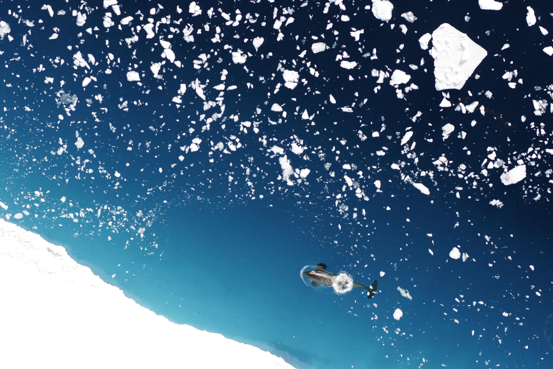 Killer whale, by Donald Leroi (NOAA)