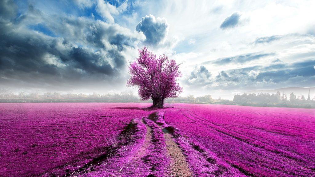 Pink lavender landscape