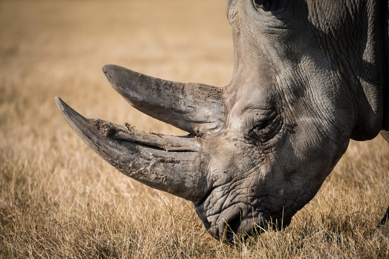 Rhinoceros, by Lucas Alexander.