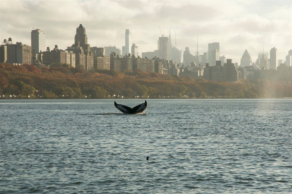 Humpback whale in New York (November 2016)