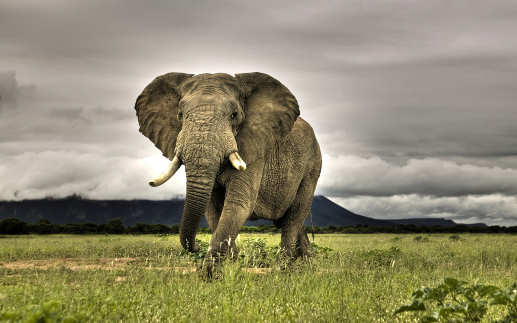 African elephant walking in the savanna