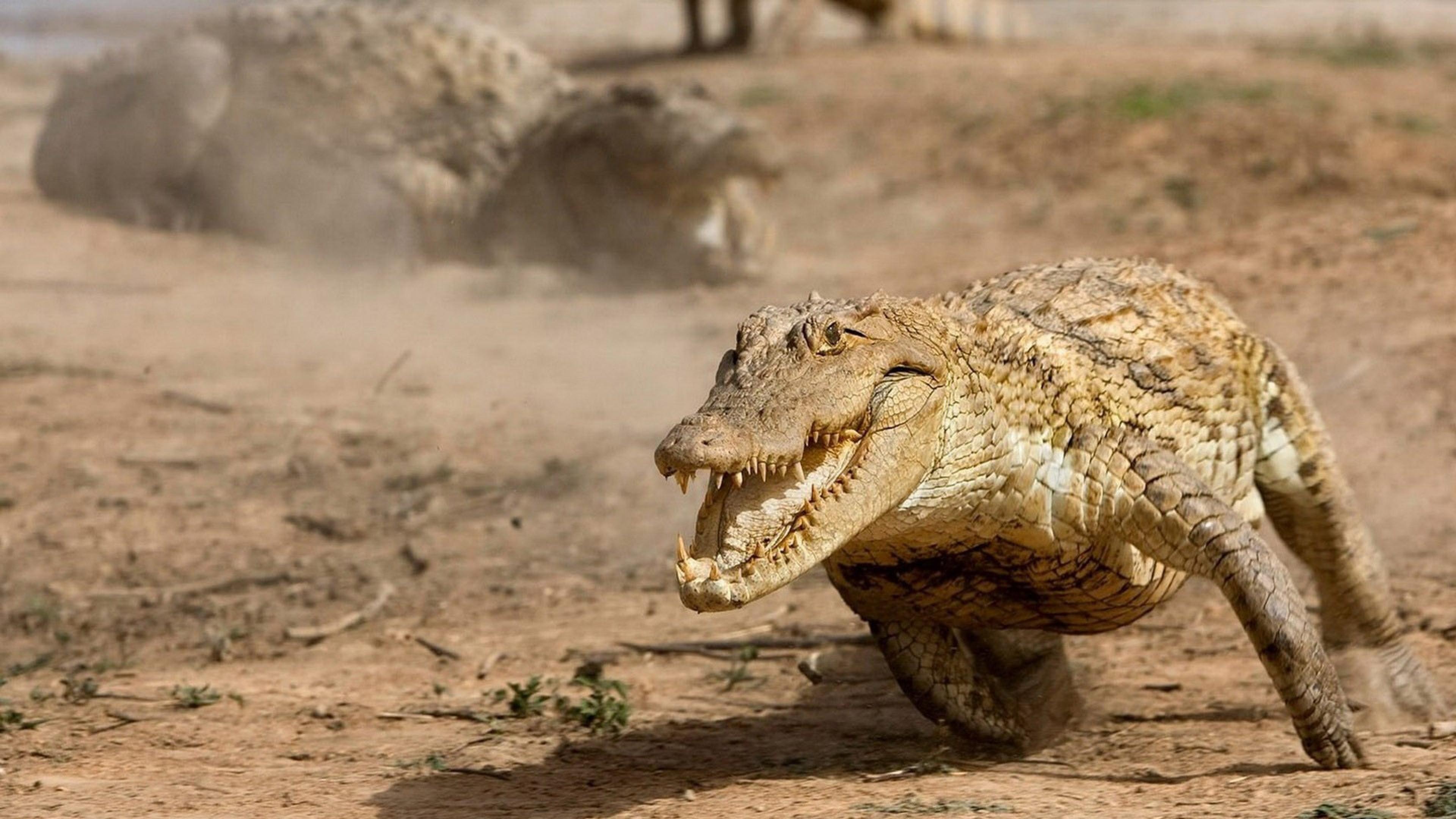 Alligator running fast