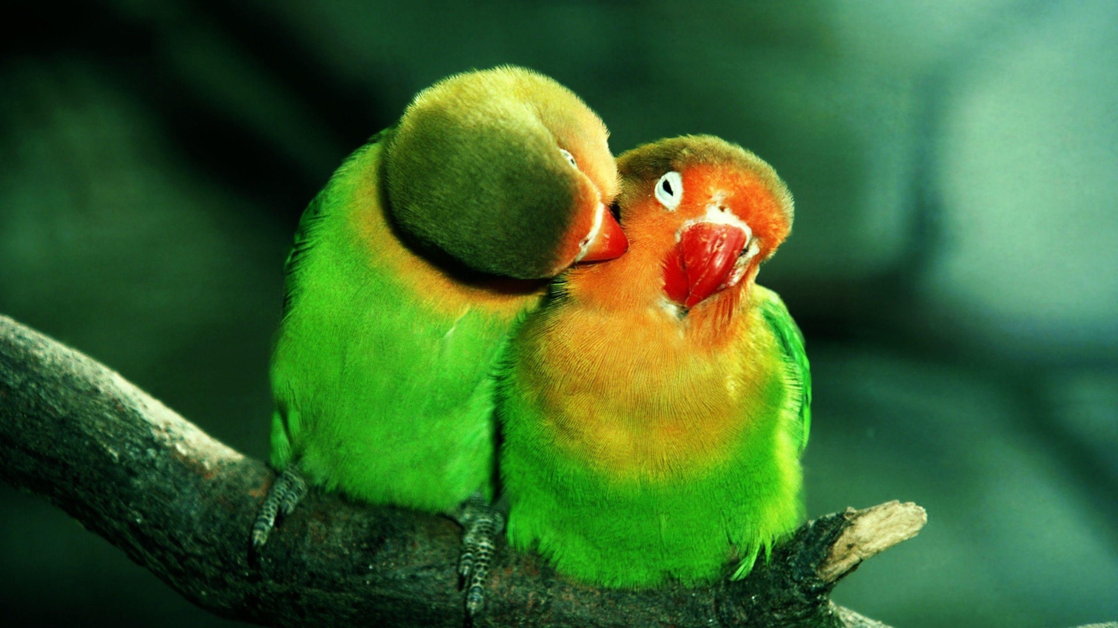 Birds kissing