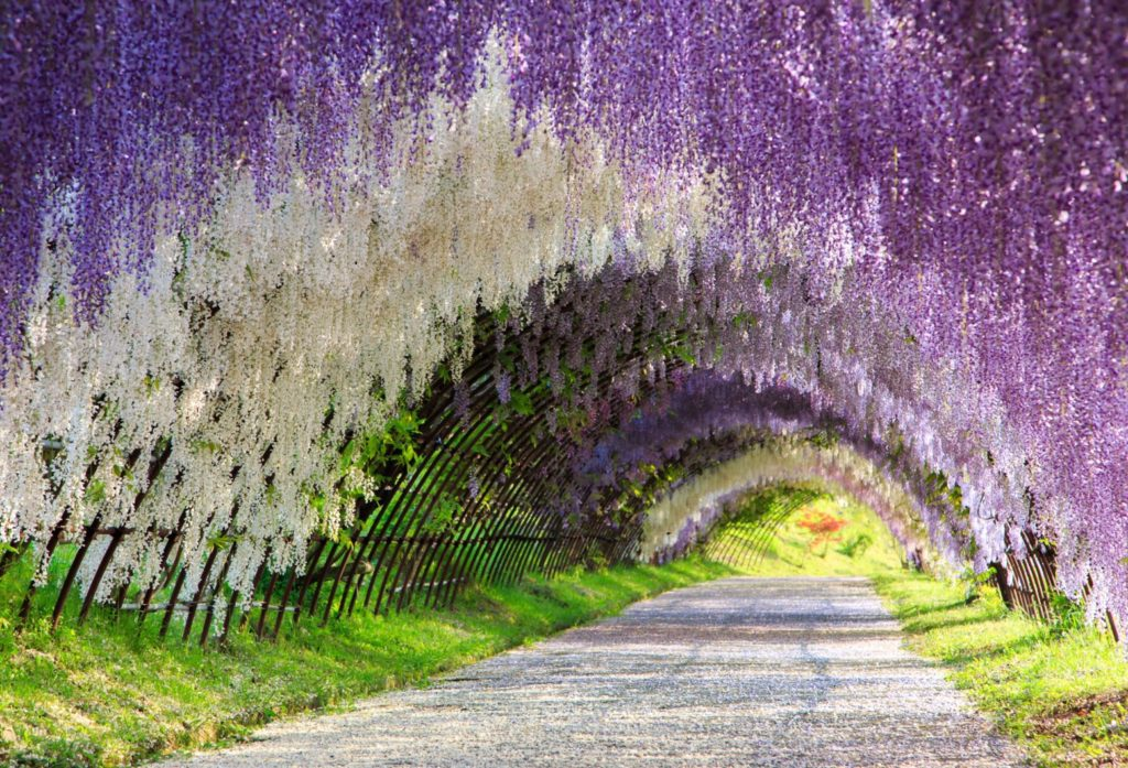 The Great Wisteria Flower Arch, by DK Tazunoki