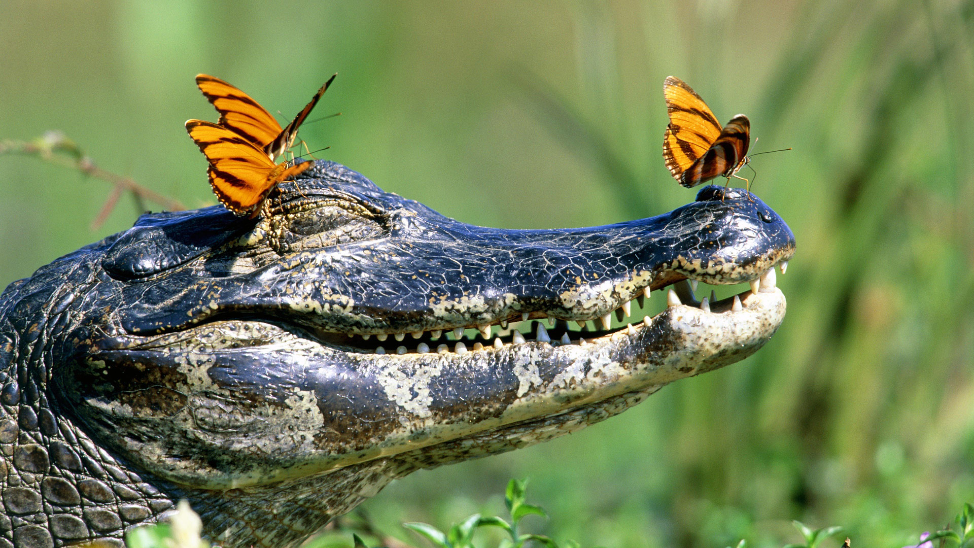 Alligator and butterfly