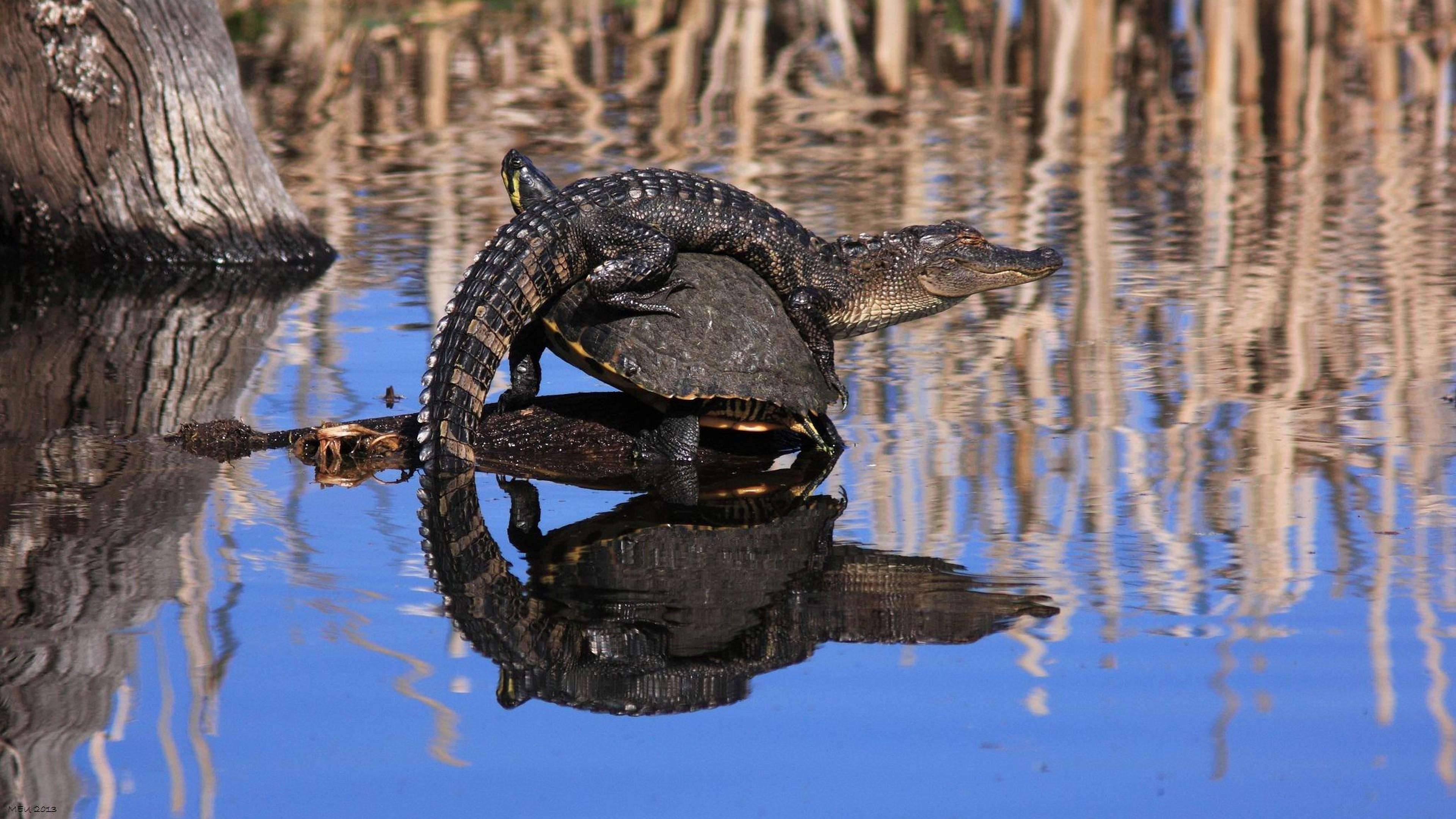 Alligator and tortuga