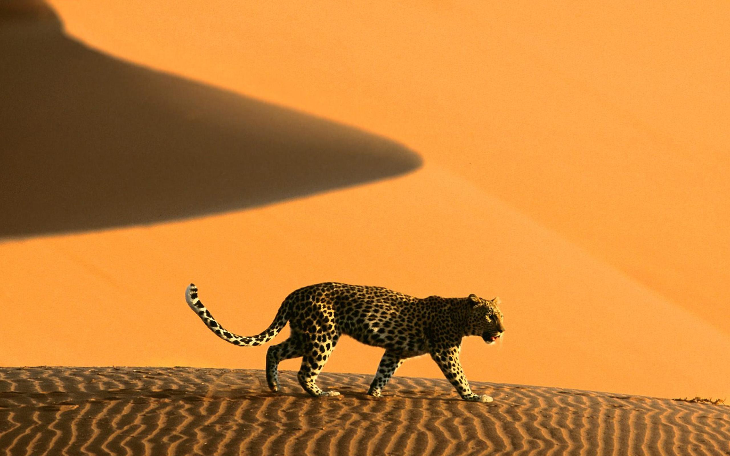 Leopard in Namib Desert