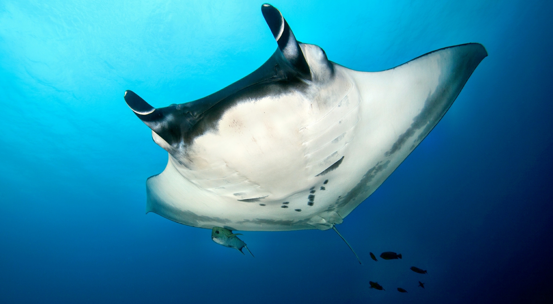 Manta Ray, Revillagigedo Islands, Mexico