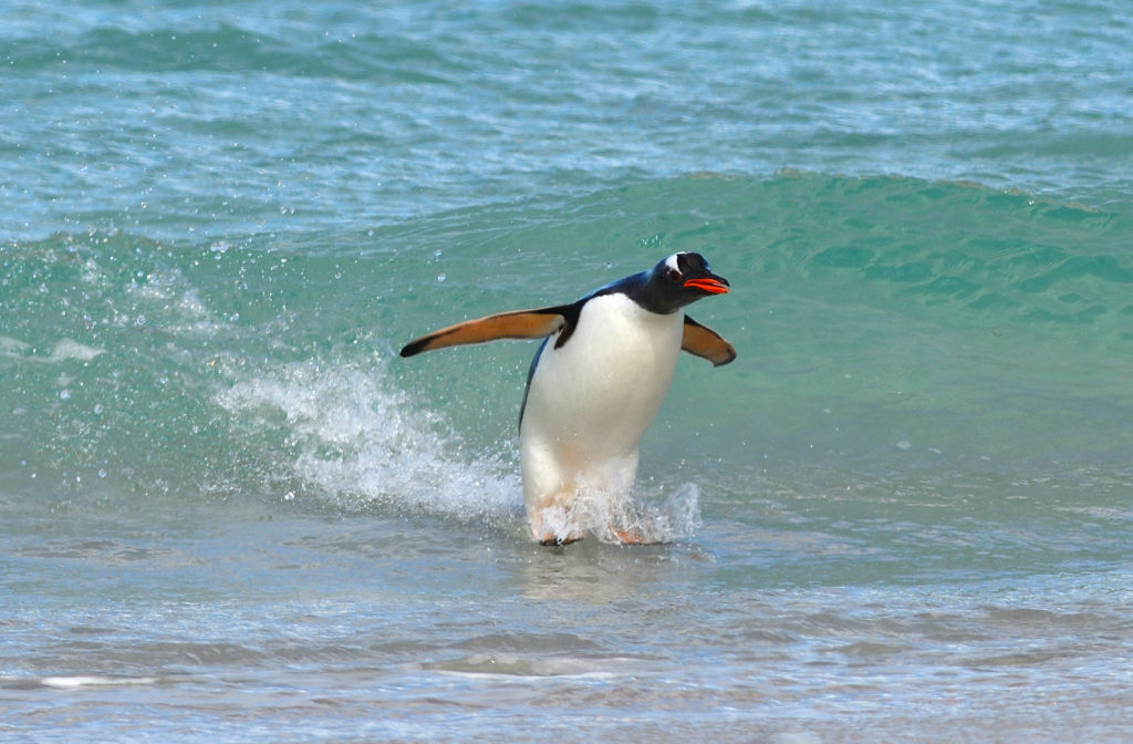 Surfing Penguin in Falkland Islands