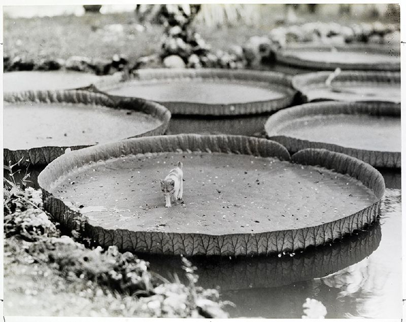 A tiny kitten walks across a victorian water lily pad in the Philippines