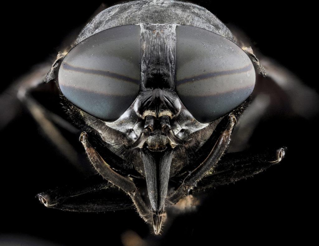 Horse-fly - Tabanus atratus