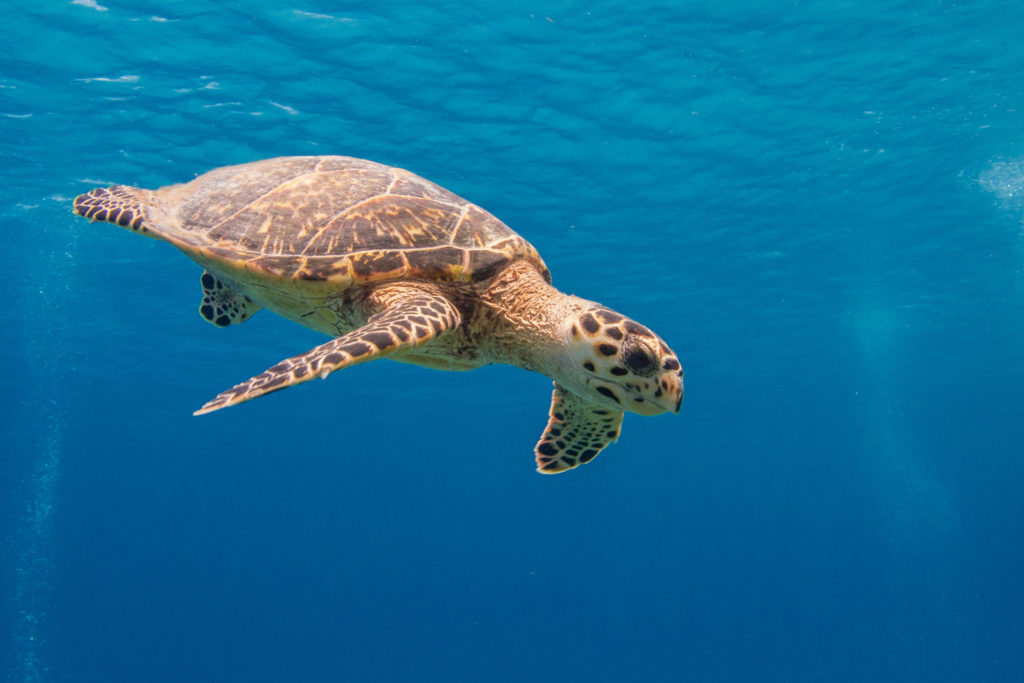 Sea Turtle in Caymans