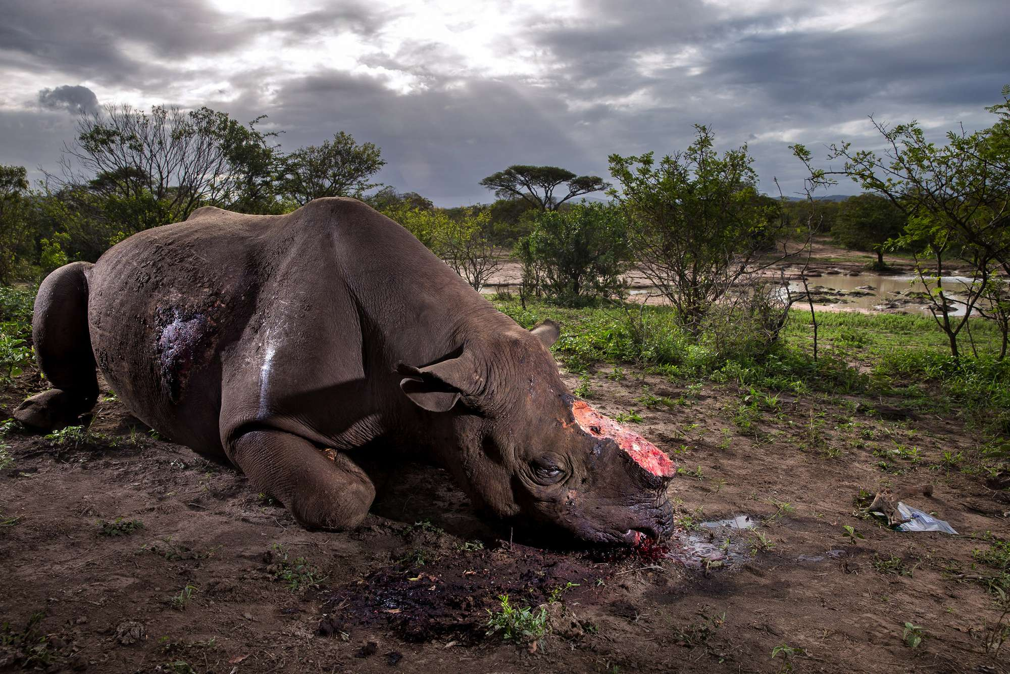 Black rhinoceros dead, Hluhluwe Imfolozi, South Africa