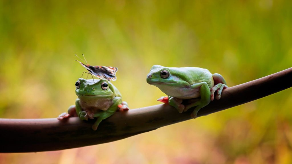 Frogs and butterfly