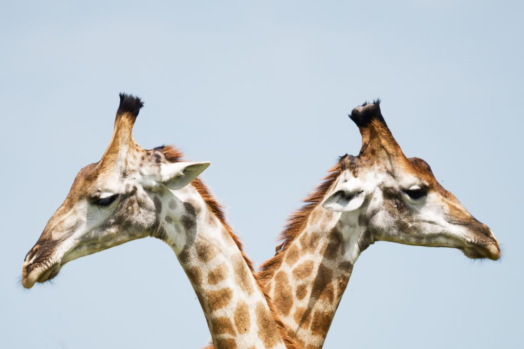 Giraffes crossing heads