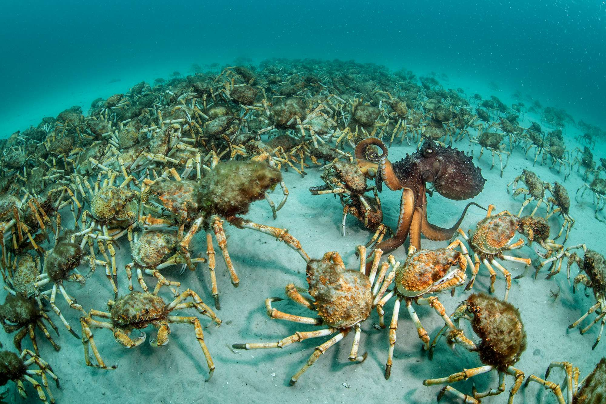 Spider crab procession, Australia