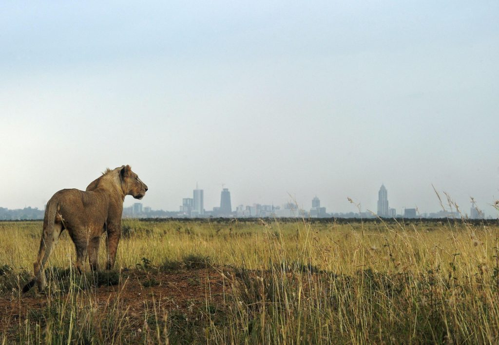 Lion, Nairobi National Park, Kenya