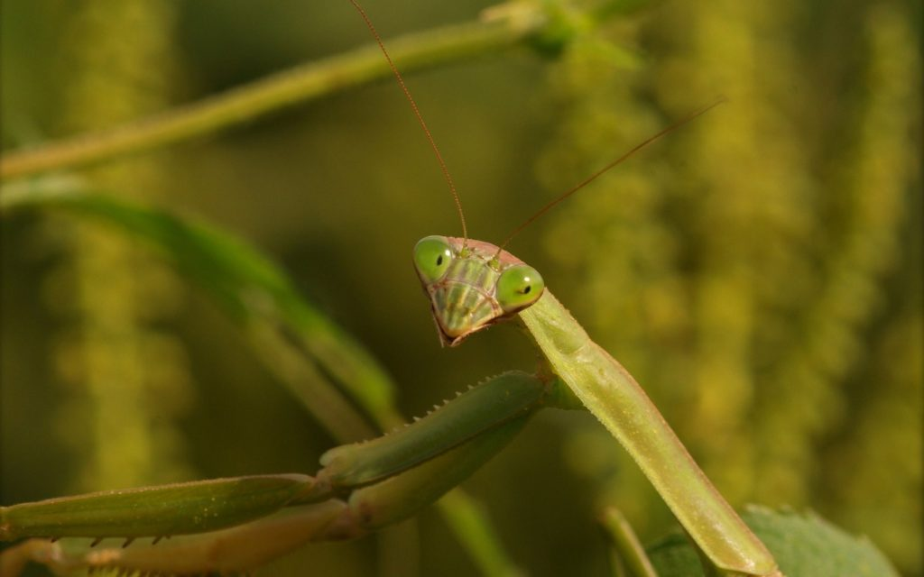 Mantis smiles