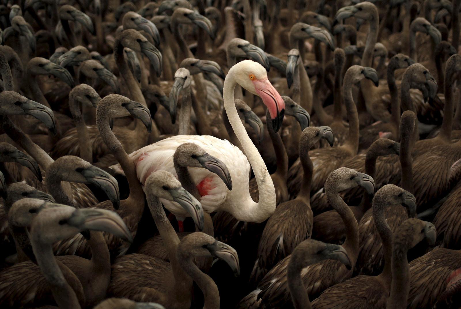 Flamingos, Spain
