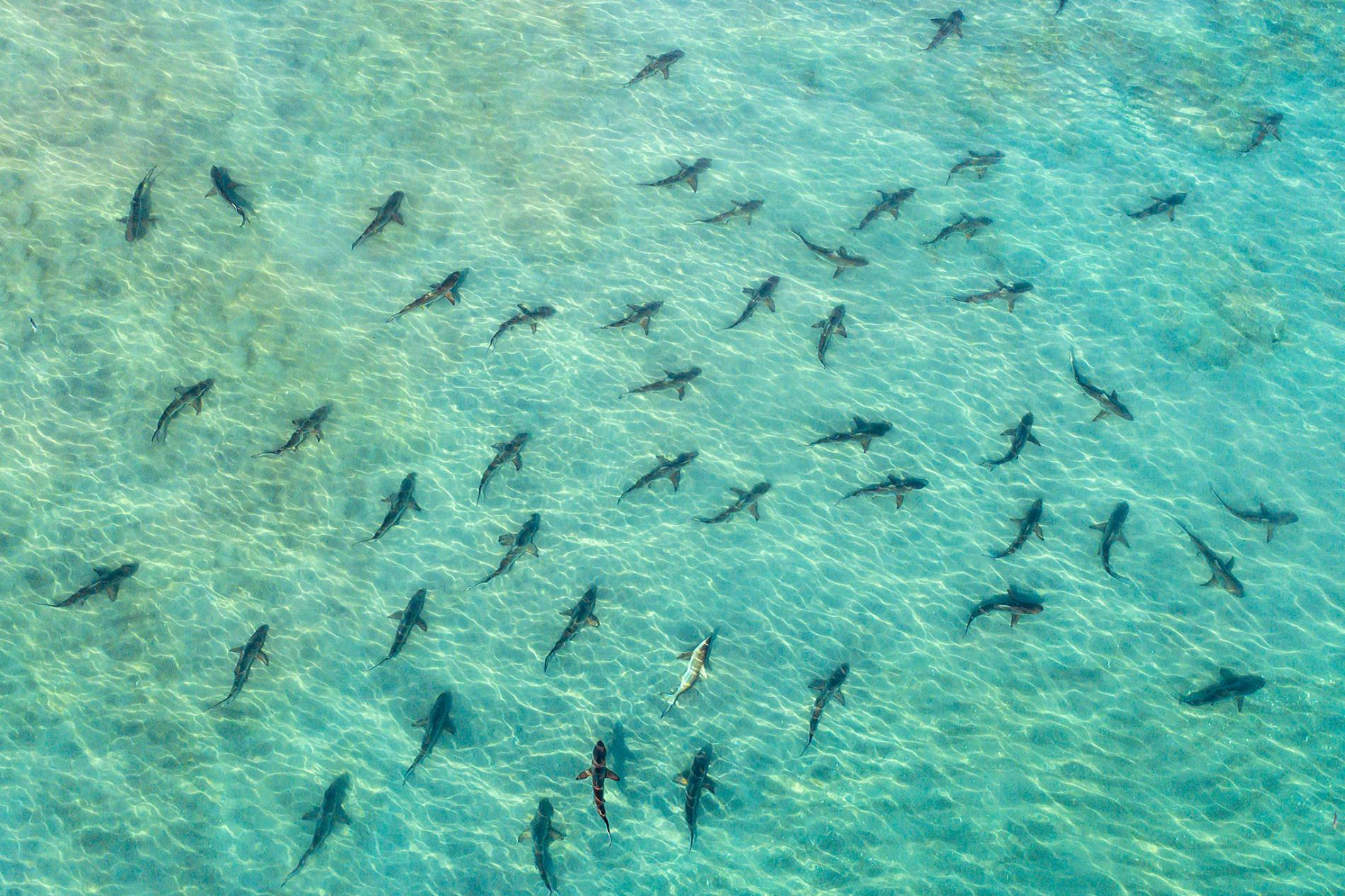 Blacktip Sharks, Juno Beach, Florida