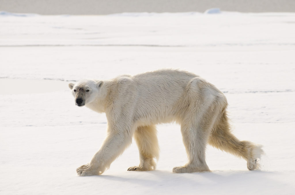Thin Polar Bear