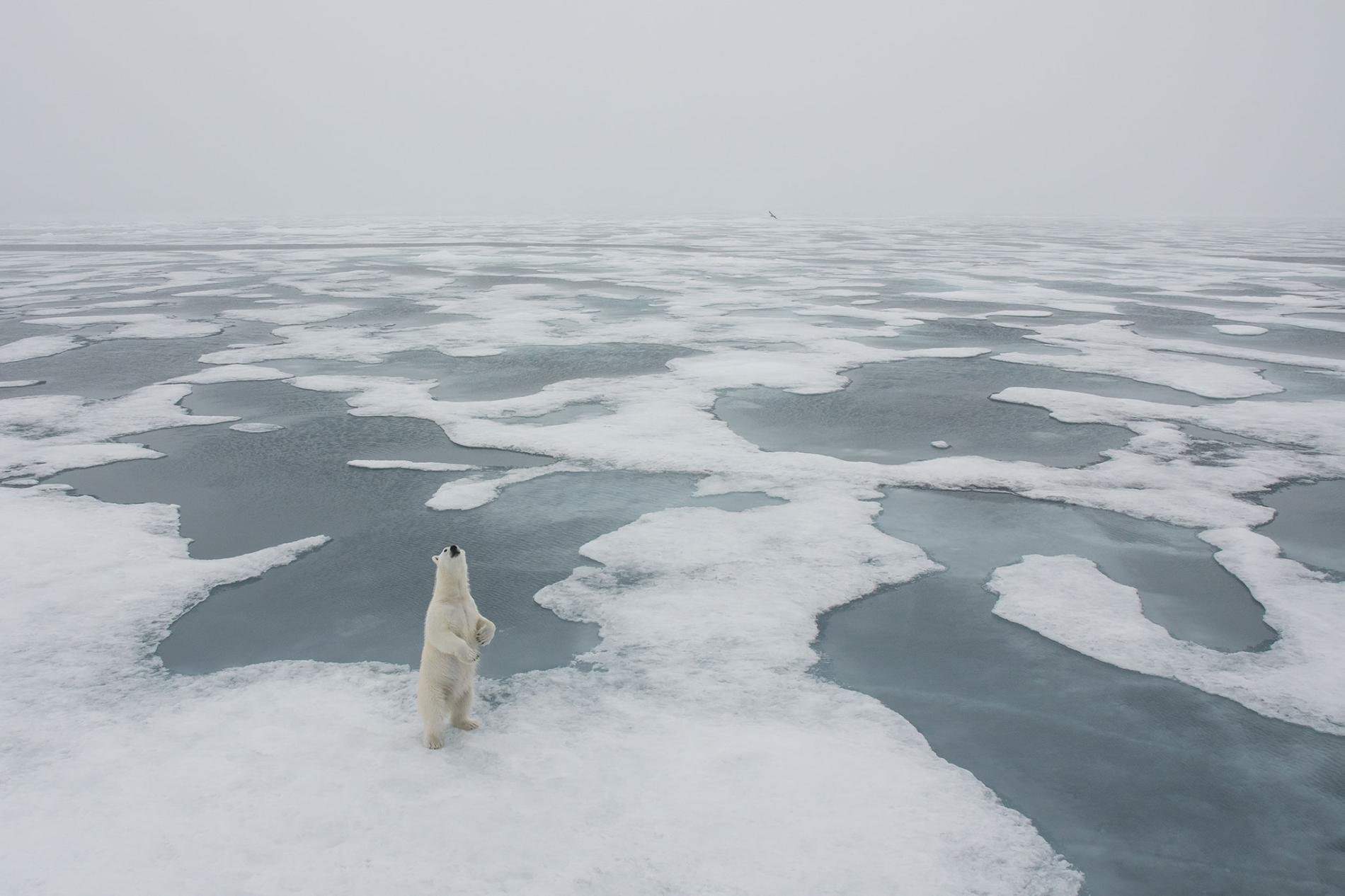 Polar Bear, Longyearbyen, Svalbard, Norway