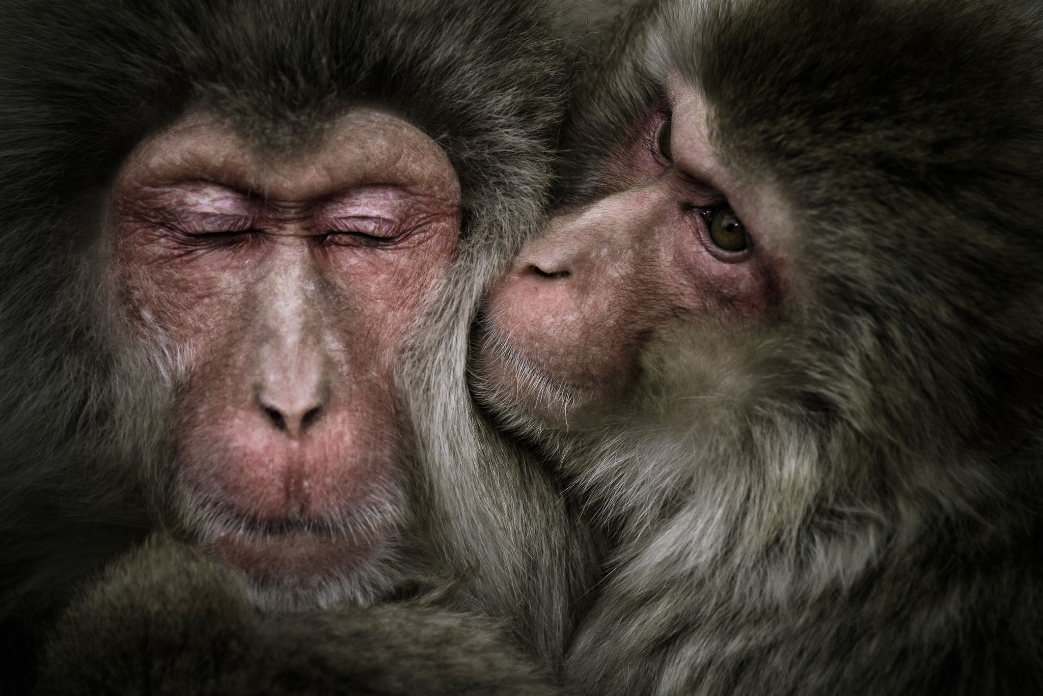 Macaques couple