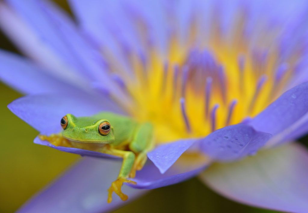 Dainty Treefrog in a Waterlily Flower, Cairns, Australia