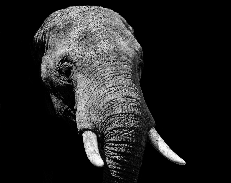 Elephant, Uganda