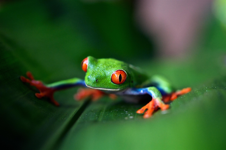 Frog, Costa Rica