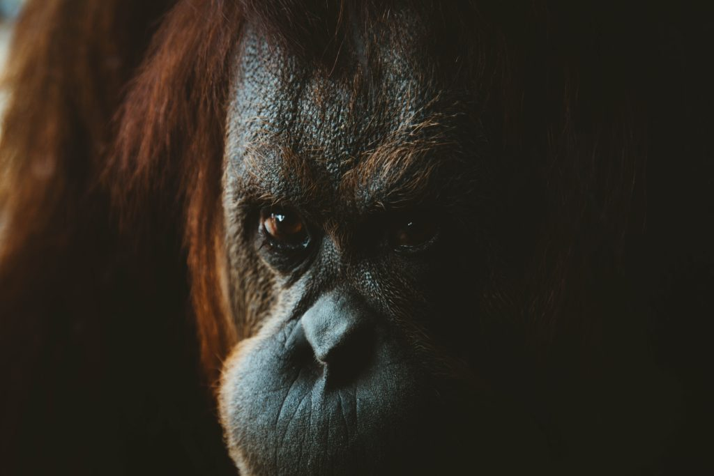 Orangutan is watching you