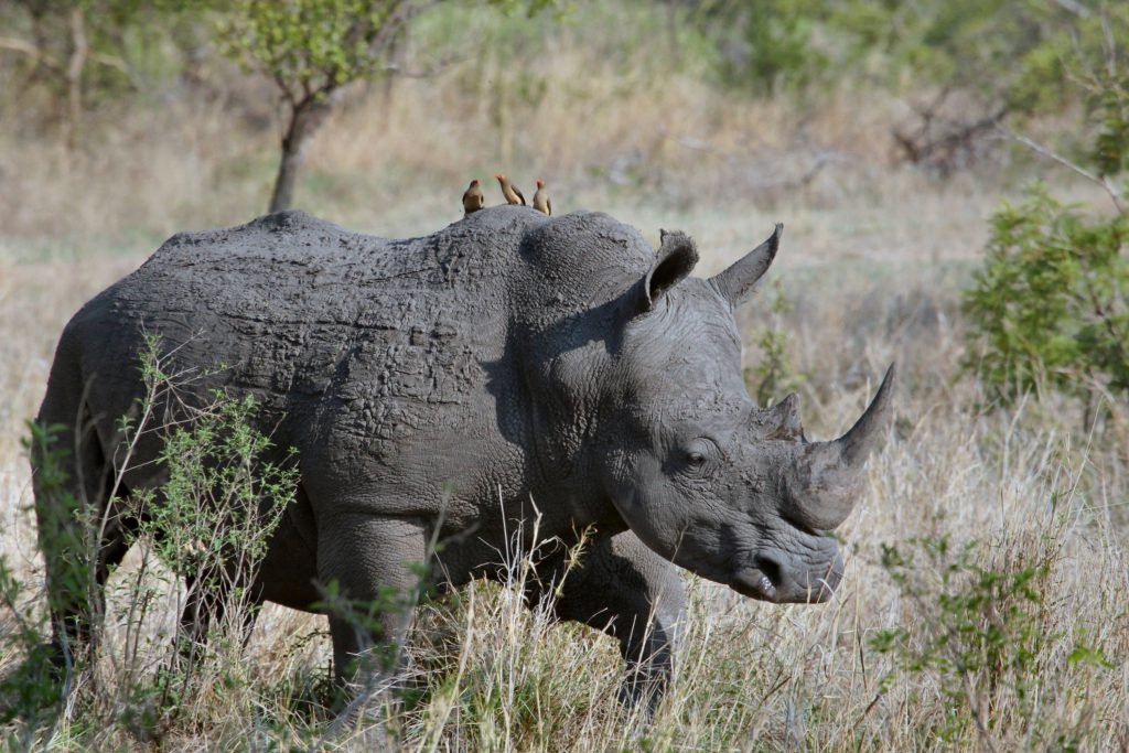 Rhinoceros, Kruger Park, South Africa
