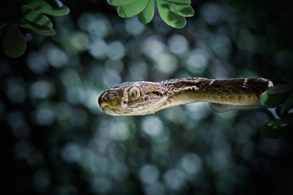 Snake, Bali
