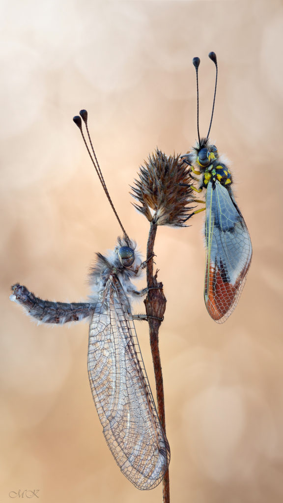 Ascalaphidae