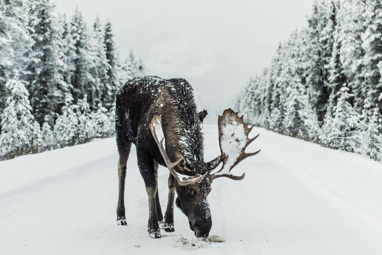 Orignal, Jasper, Canada
