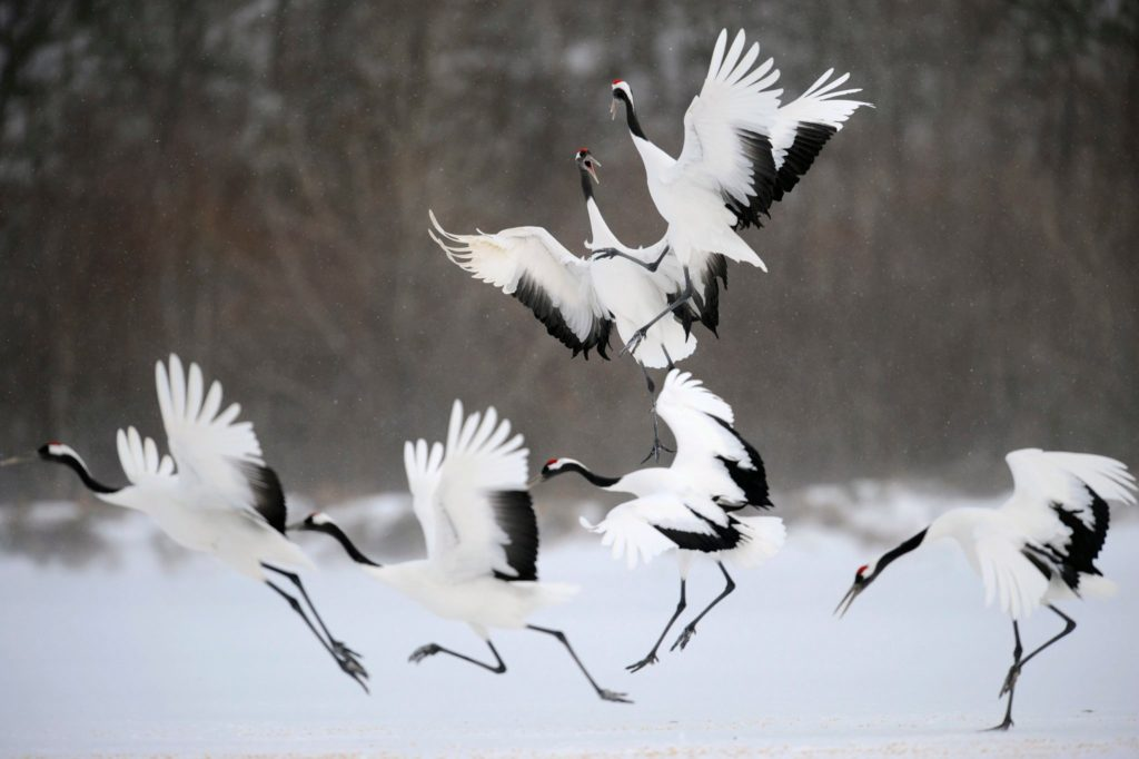 Red-Crowned Crane, Korea