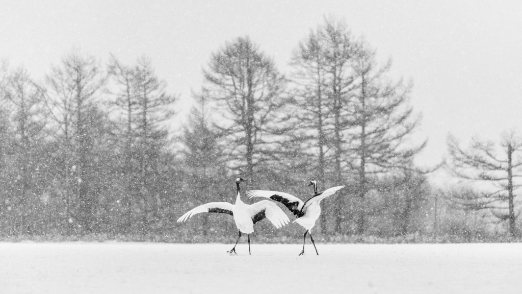 Red-crowned crane couple dancing in the snow