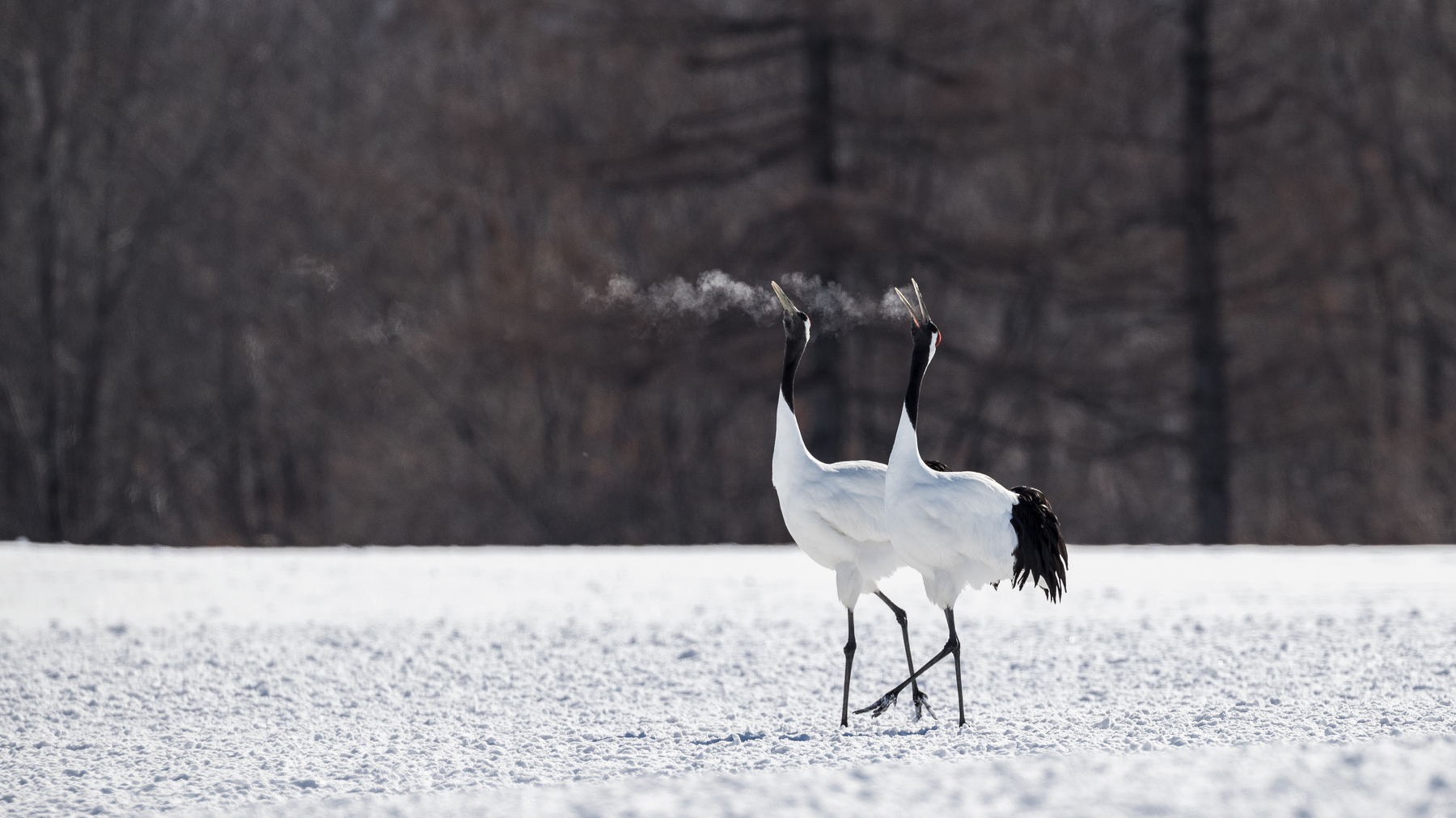 Red-crowned crane couple dancing