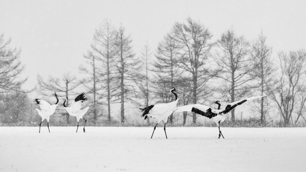 Red-crowned crane couples dancing