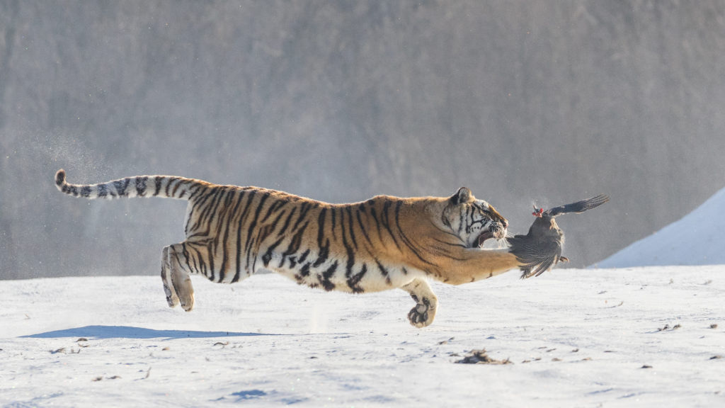 Tiger hunting in flight