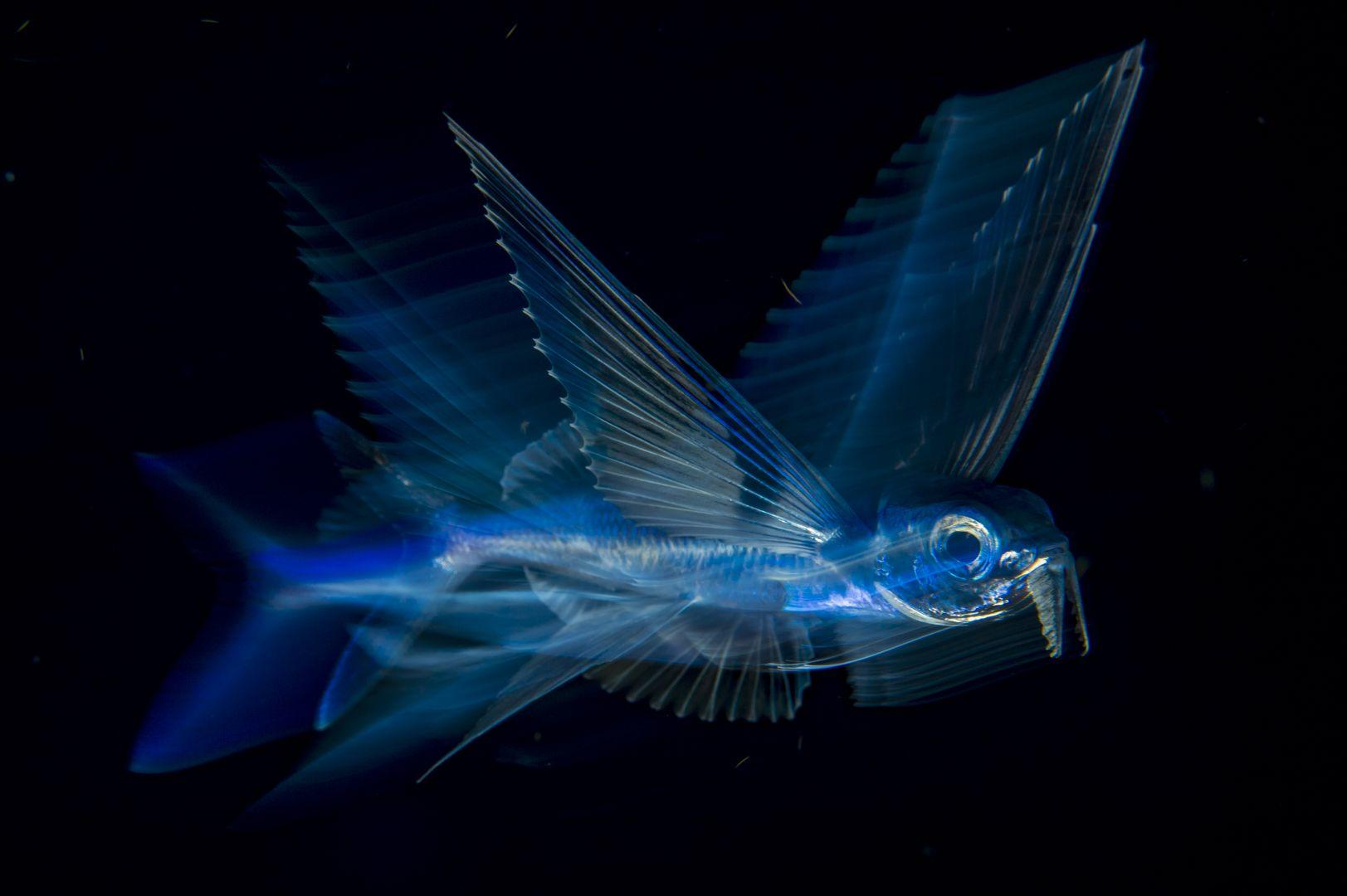 Flying Fish in Motion