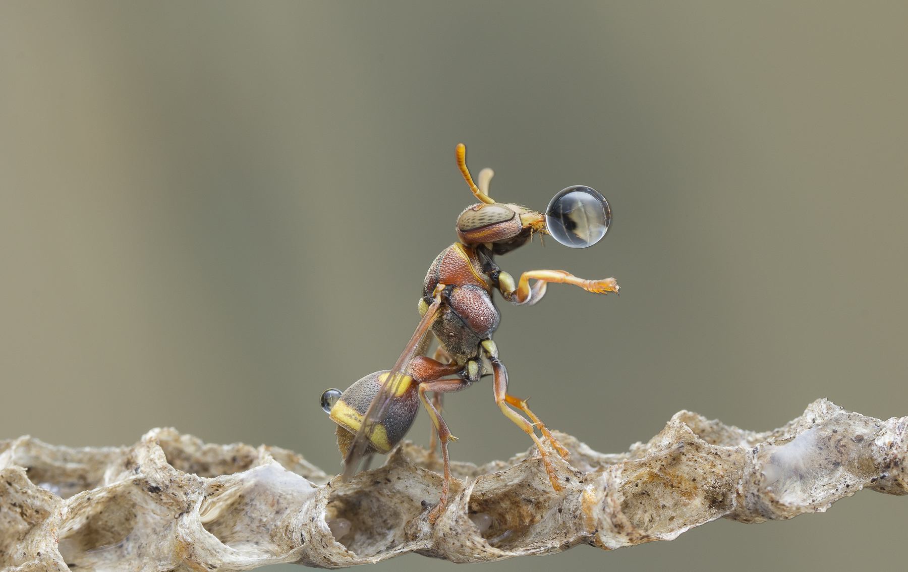 Wasp Blowing Water Bubble