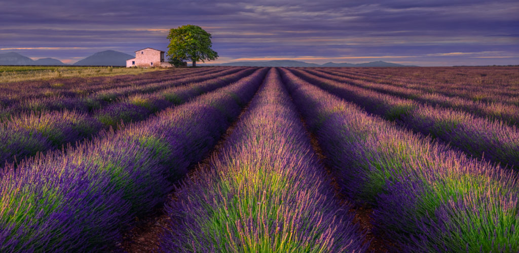 Lavender field on the Valensole plateau, Provence, France