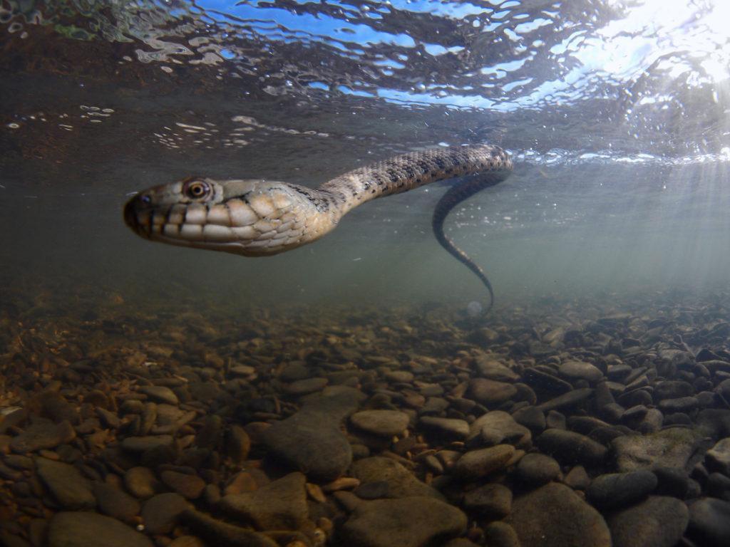 Snake underwater, Dagestan, Russia