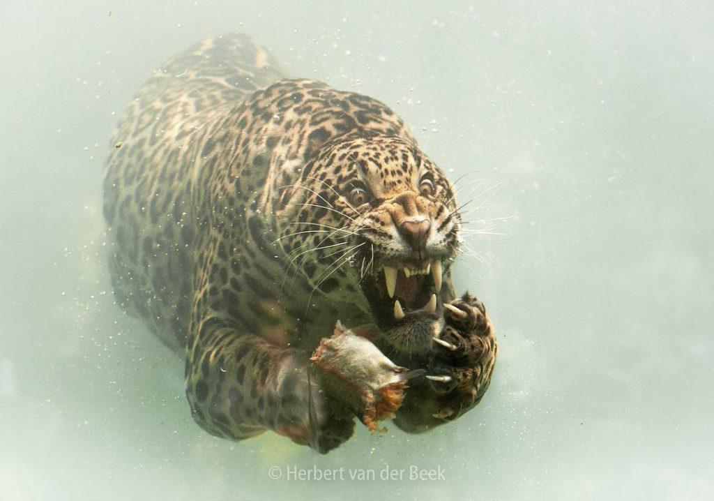 Jaguar underwater