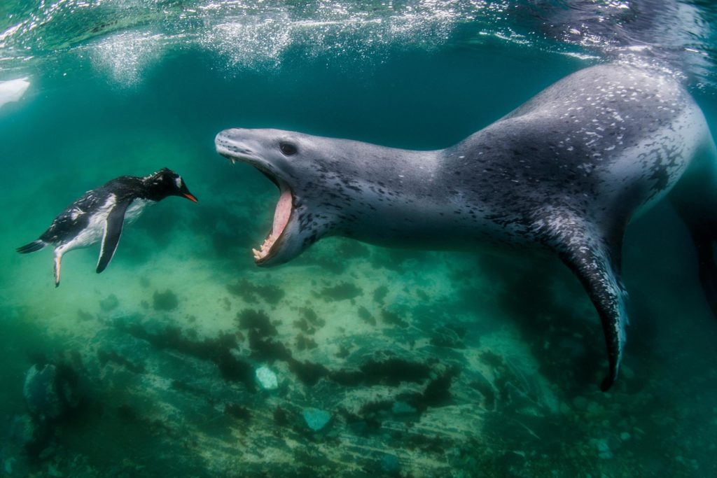 Leopard seal catch a penguin