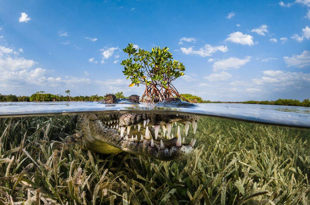 American crocodile in mangrove, Cuba
