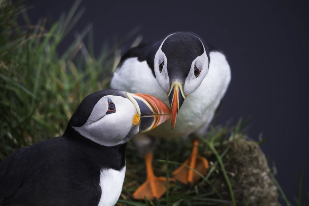 Puffins, Iceland