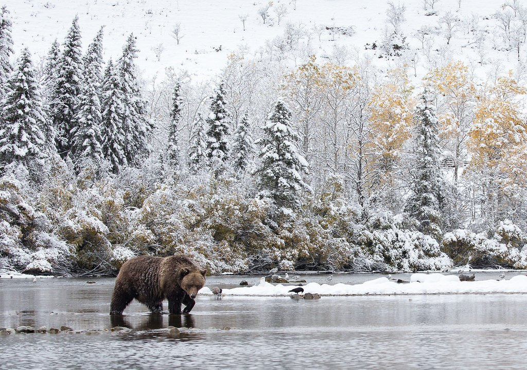 Grizzly bear crossing a stream, Chilcotin Country, British Columbia, Canada