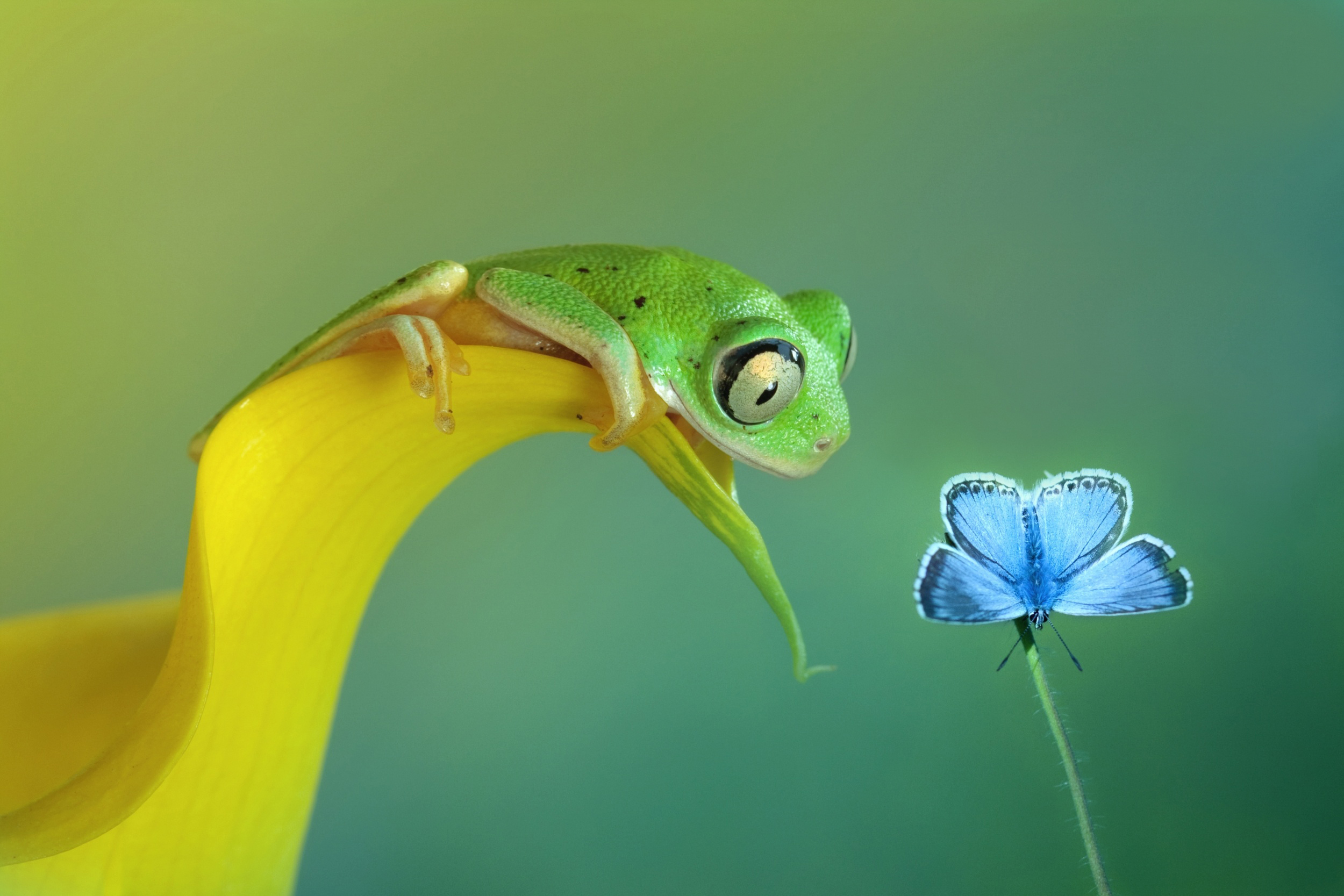 Green frog watches blue butterfly